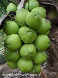 Côco Verde