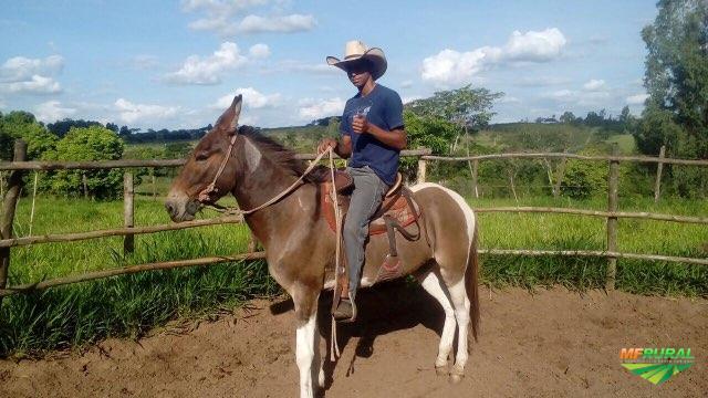 Burro Pampa, Burro de Patrão