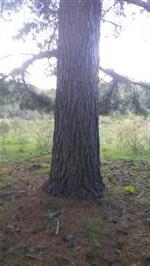 Vendo pinus